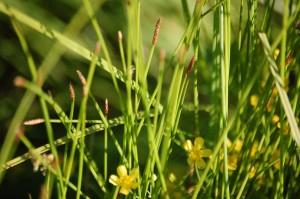 Eleocharitetalia palustris subsp. palustris