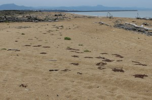 Atriplicetalia littoralis