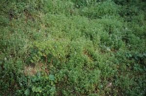 Veronico agrestis - Euphorbion peplidis