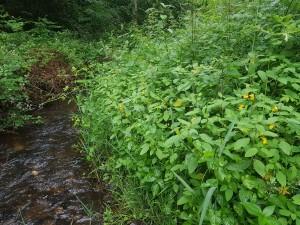 Persicario hydropiperis - Impatientetum noli-tangeris