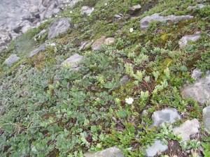 Arabidetalia caeruleae
