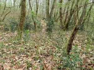 Daphno laureolae - Ruscetum aculeati