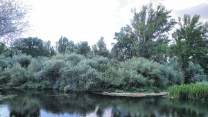 Populetalia albae